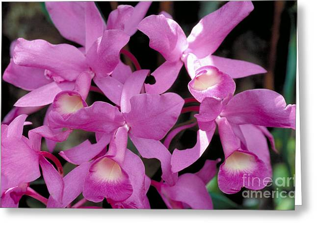 Cattleya Skinneri Orchid Greeting Card by Gregory G. Dimijian