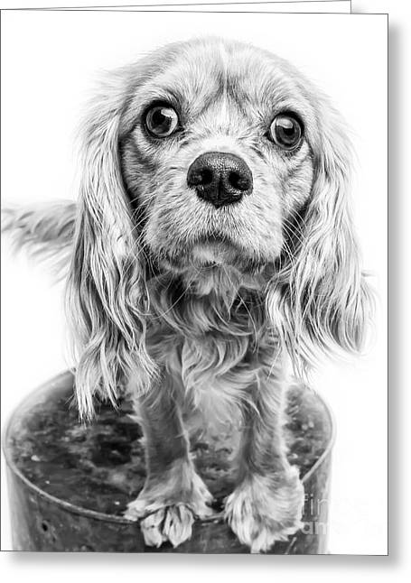Cavalier King Charles Spaniel Puppy Dog Portrait Greeting Card by Edward Fielding