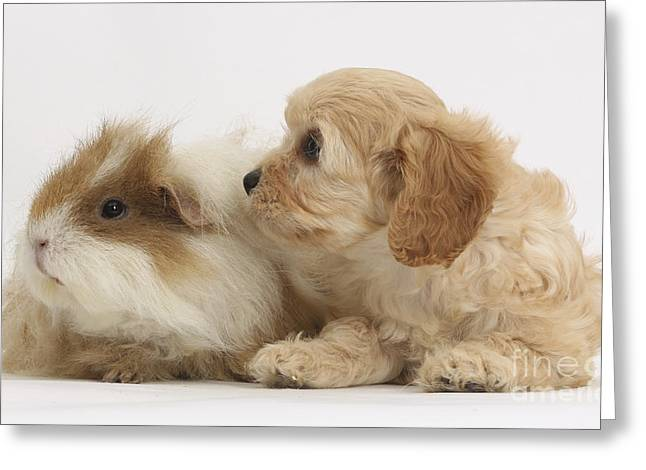 Cavapoo Pup And Guinea Pig Greeting Card by Mark Taylor