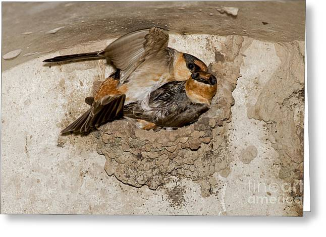 Cave Swallows Greeting Card