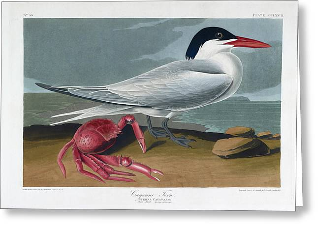 Cayenne Tern Greeting Card by British Library