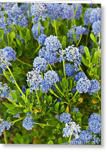 Ceanothus Impressus Santa Barbara Flowering Bush Greeting Card by Valerie Garner
