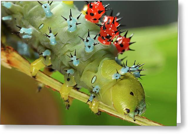 Cecropia Moth Caterpillar Greeting Card by Tomasz Litwin