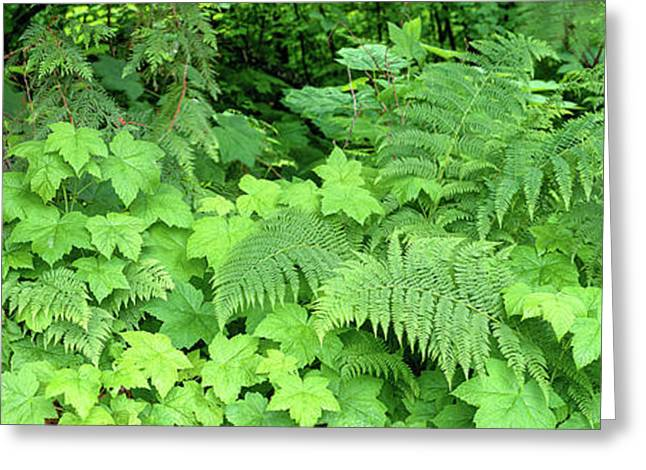 Cedar Tree Trunk And Ferns In A Forest Greeting Card