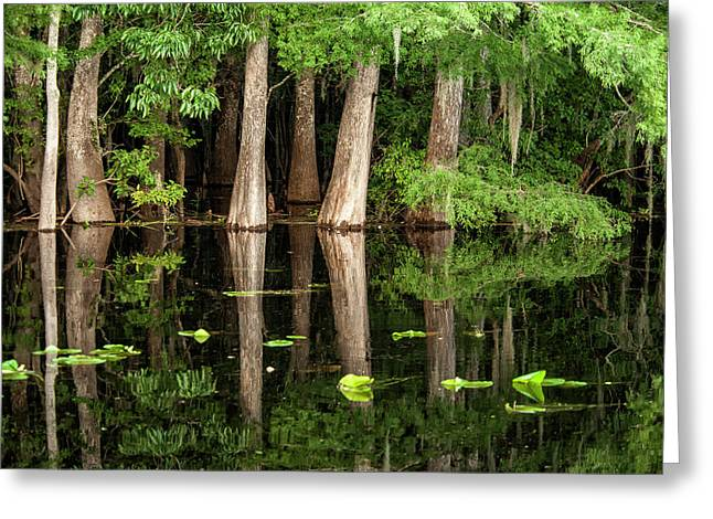 Cedar Trees In Suwannee River, Florida Greeting Card by Sheila Haddad