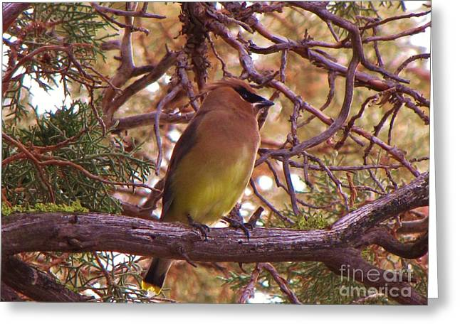 Cedar Wax Wing In Juniper Greeting Card by Michele Penner