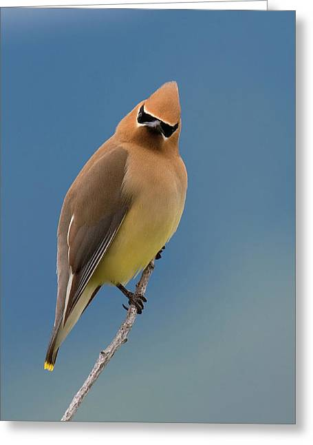 Cedar Waxwing, A Curious Stare Greeting Card