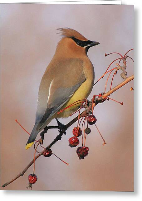 Cedar Waxwing Greeting Card by Doris Potter