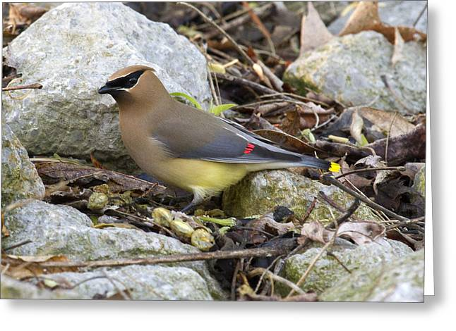 Cedar Waxwing Greeting Card by Eric Mace