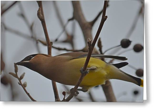 Greeting Card featuring the photograph Cedar Waxwing Feasting In Foggy Cherry Tree by Jeff at JSJ Photography