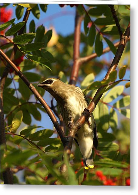 Greeting Card featuring the photograph Cedar Waxwing by James Peterson