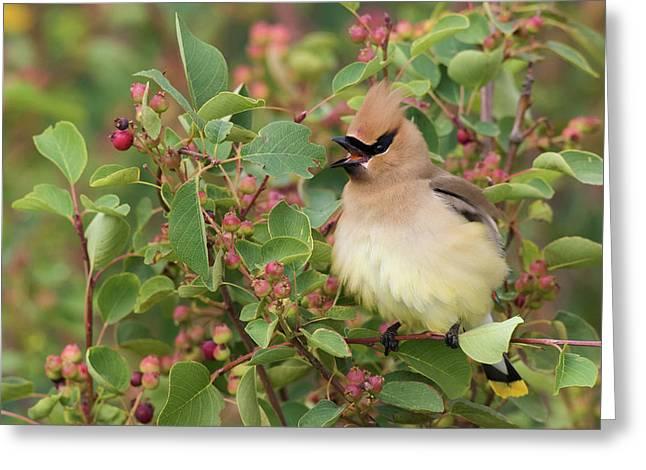 Cedar Waxwing On Blueberry Bush Greeting Card