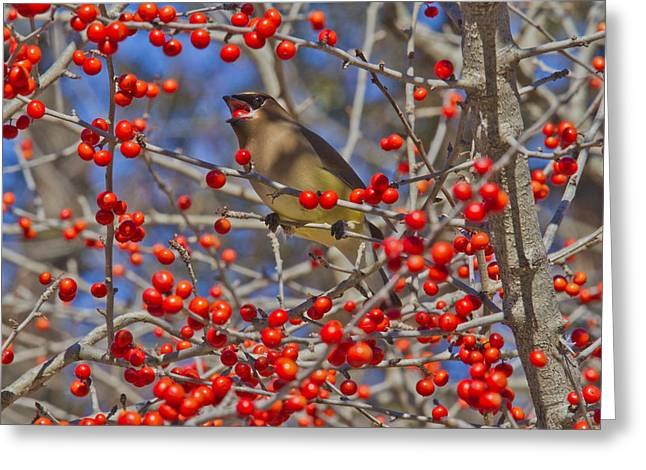 Cedar Waxwing In The Act Of Swallowing A Possumhaw Fruit Greeting Card