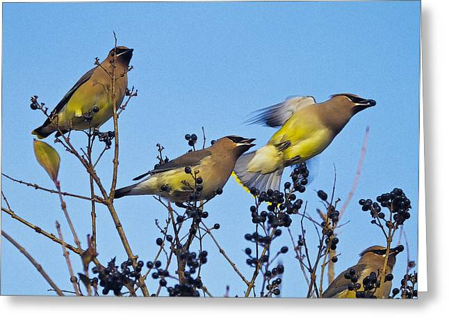 Cedar Waxwings And  Berries Greeting Card by Constantine Gregory