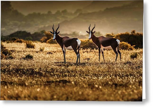 Cederberg Mountains - Bontebok Couple Greeting Card