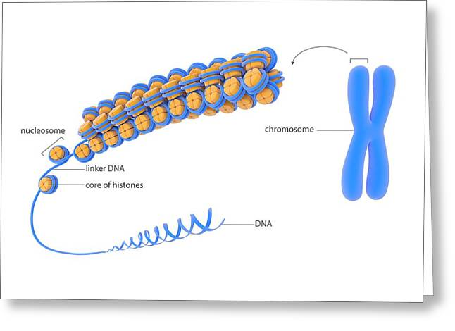 Cellular Packaging Of Dna Greeting Card by Science Photo Library