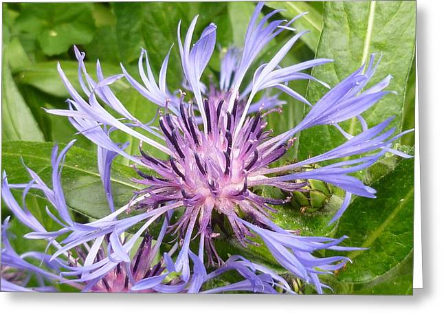 Centaurea Montana Blue Flower Greeting Card