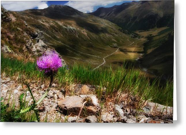 Centaurea Greeting Card