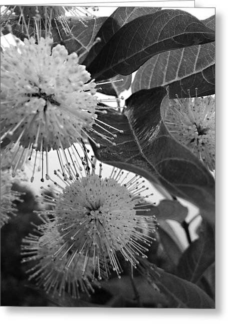 Cephalanthus Occidentalis In Black And White Greeting Card