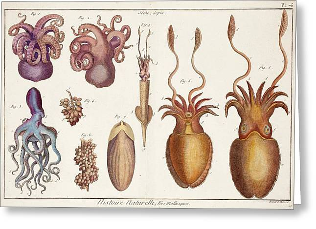Cephalopod Molluscs Greeting Card by Paul D Stewart