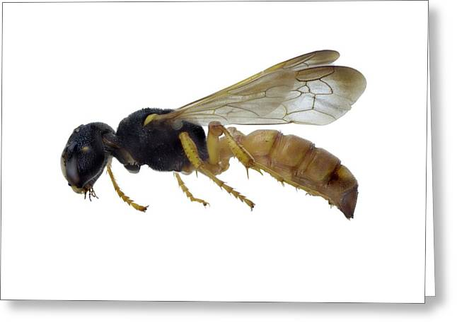 Cerceris Flaviventris Wasp Greeting Card by F. Martinez Clavel