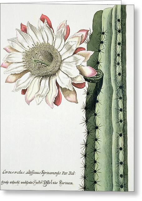 Cereus Erectus Altissimus Syrinamensis Greeting Card by Johann Wilhelm Weinman