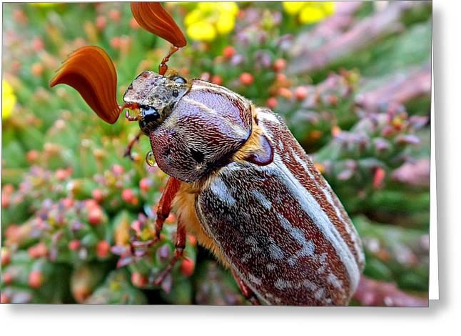 Chafer Beetle On Medusa Succulent 2 Greeting Card