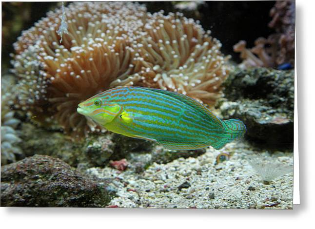 Chain-lined Wrasse, Kula Eco Park Greeting Card
