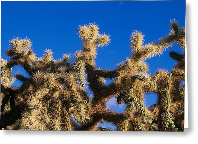 Chainfruit Cholla Cactus Saguaro Greeting Card by Panoramic Images