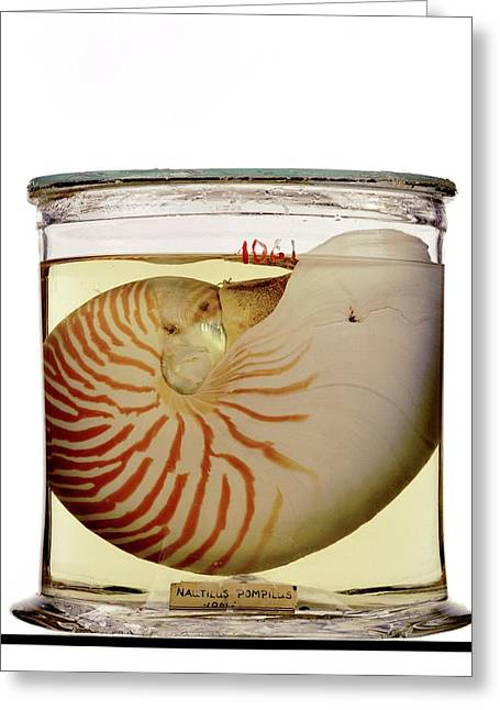 Chambered Nautilus Specimen Greeting Card