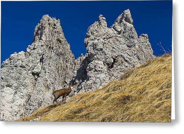 chamois in Alps Greeting Card by Ioan Panaite