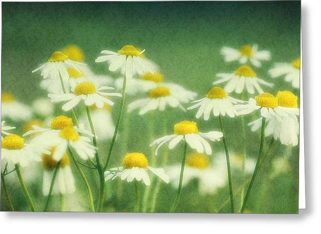 Chamomile Greeting Card by Claudia Moeckel