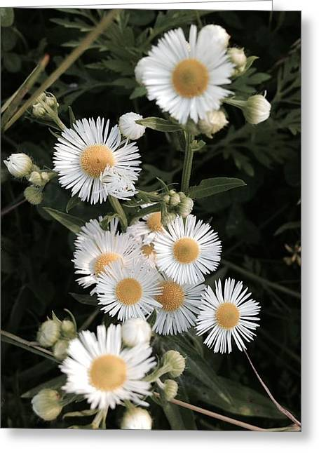 Chamomile Flowers. Greeting Card