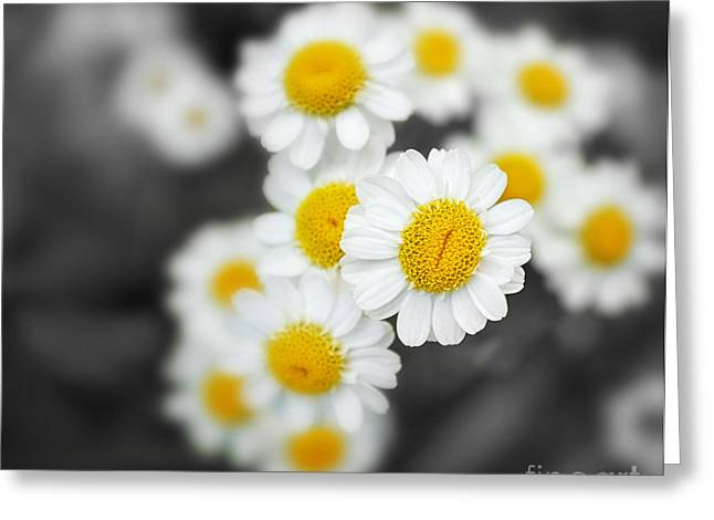 Chamomile Greeting Card by Jane Rix