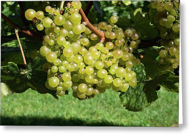 Chardonnay Grapes On Vine Greeting Card by Panoramic Images