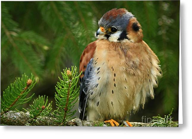 Charming By Nature American Kestrel Falcon.  Greeting Card by Inspired Nature Photography Fine Art Photography