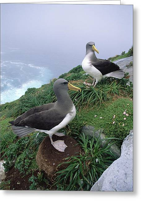 Chatham Albatrosses Nesting On A Cliff Greeting Card