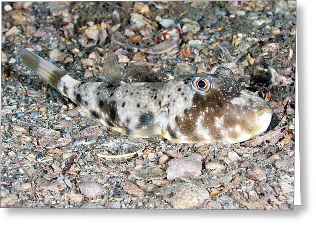 Checkered Puffer, At Night Greeting Card by Andrew J. Martinez
