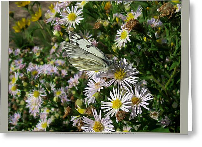checkered white butterfly - Pontia protodice - 11SE06 Greeting Card by Robert G Mears