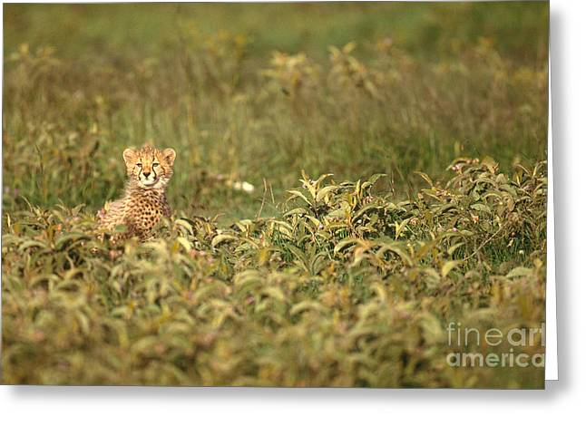 Cheetah Acinonyx Jubatus Jubatus Greeting Card by Art Wolfe
