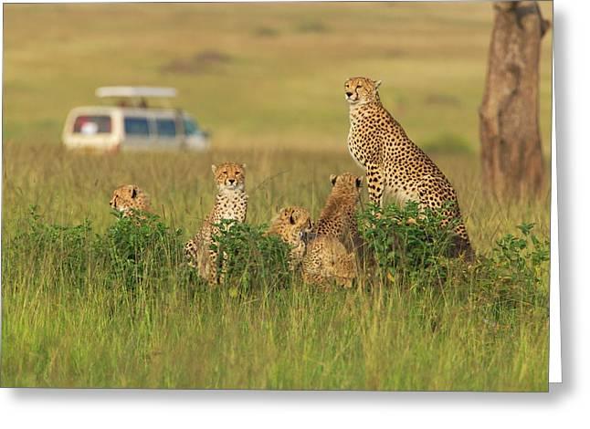 Cheetah (acinonyx Jubatus Greeting Card