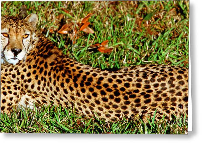 Cheetah Acinonyx Jubatus Greeting Card by Millard H. Sharp