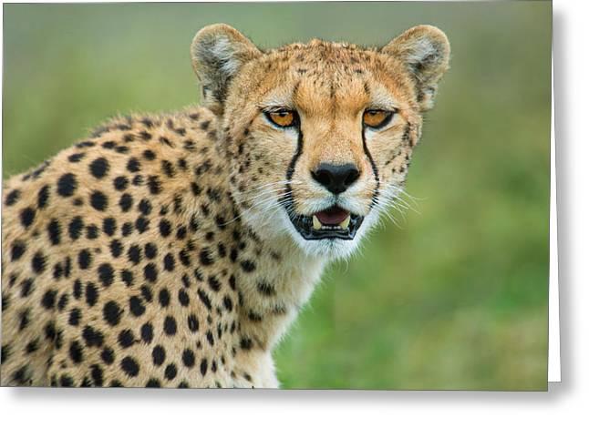 Cheetah Acinonyx Jubatus, Ndutu Greeting Card by Panoramic Images