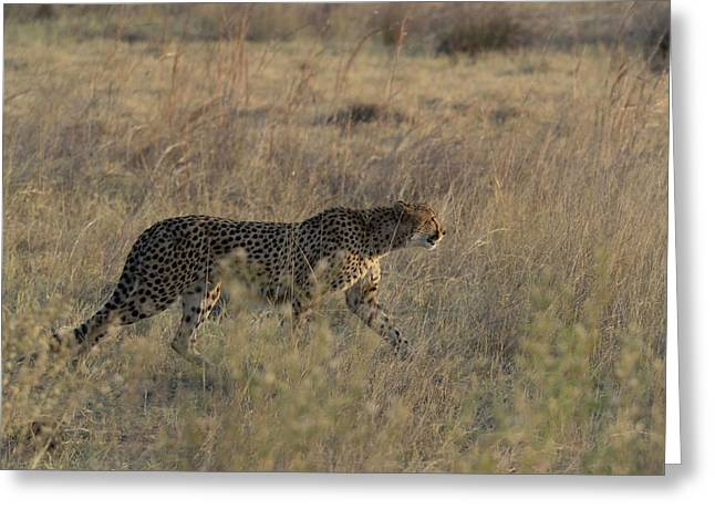 Cheetah Acinonyx Jubatus On The Prowl Greeting Card by Panoramic Images