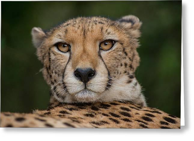Cheetah (acinonyx Jubatus Greeting Card by Pete Oxford