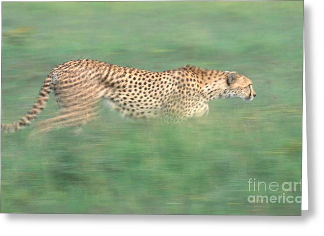 Cheetah Acinonyx Jubatus Running Greeting Card by Art Wolfe
