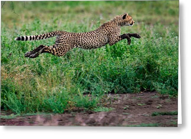 Cheetah Acinonyx Jubatus Running Greeting Card by Panoramic Images