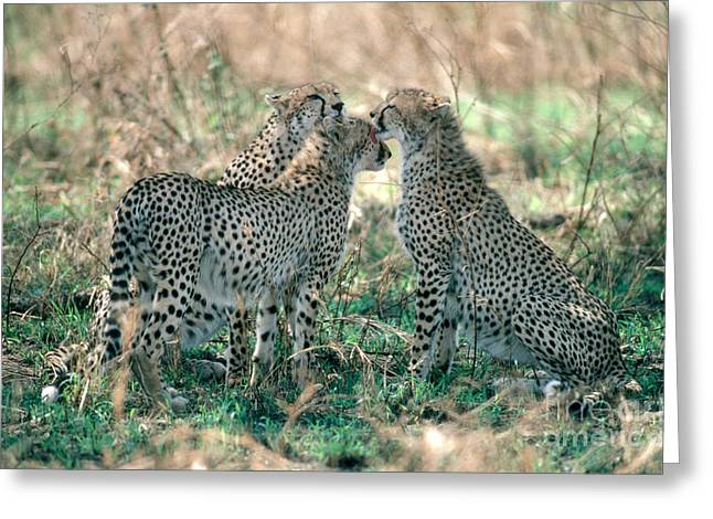 Cheetah Acinonyx Jubatus Siblings Greeting Card by Gregory G. Dimijian, M.D.