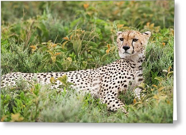 Cheetah  Acinonyx Jubatus  With Head Greeting Card by Kenneth Whitten