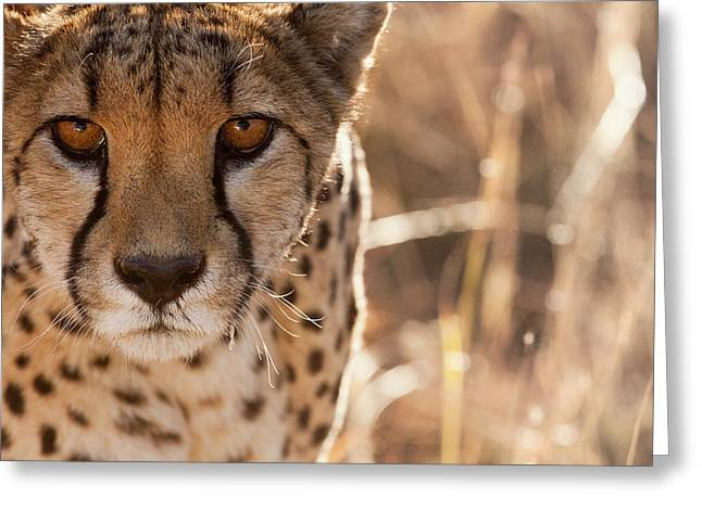 Cheetah Conservation Fund, Namibia Greeting Card by Janet Muir